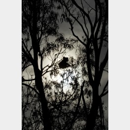 Koala au clair de lune