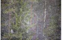 Chouette dans les flocons de neige